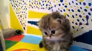 маленькие пушистые персидские котята
