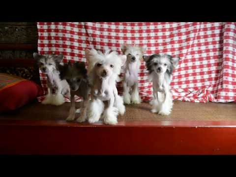 MythicKingdom Chinese Crested Puppies Showing Off Their Different Personalities At 15 Weeks