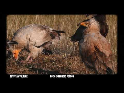 Egyptian Vulture - Through the Lens 05