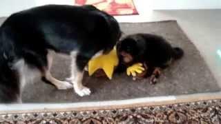 Бурят-монгольская собака. Хотошо Семён, Лапа и кот Шурик