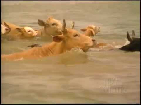 Matagorda Cattle Drive (Texas Country Reporter)