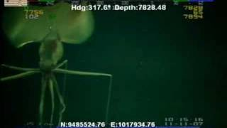 deep sea squid magnapinna sp