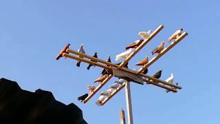 Снова в гостях майкопские бойные голуби