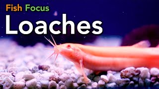 Fish Focus - Loaches