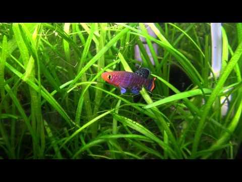 Killifish Tank: Killifish Breeding Is Done