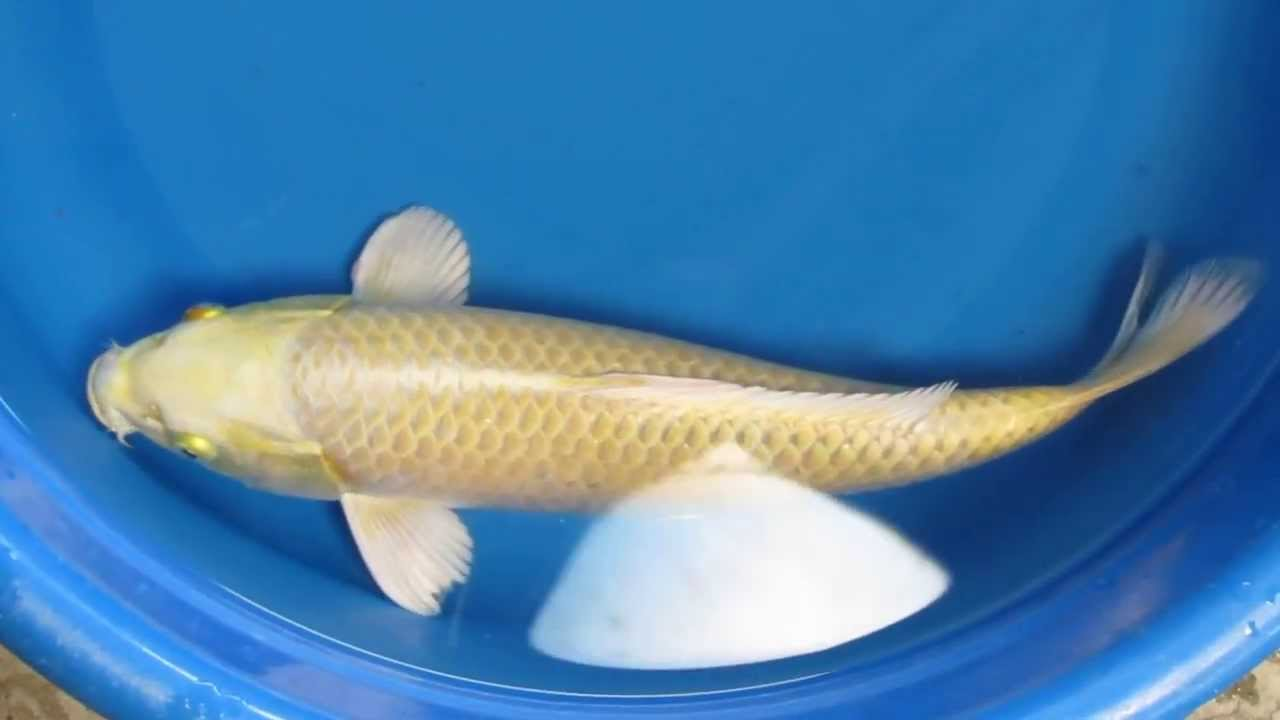 13 yamabuki ogon japanese koi fish youtube for Ogon koi fish