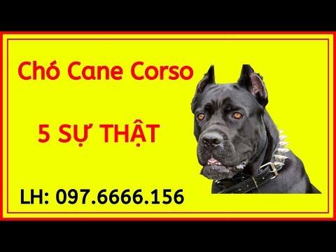 Chó Ngao Ý Cane Corso Italiano, Cách Nuôi Chăm Sóc, Địa Chỉ Mua Bán Uy Tín Tại Việt Nam