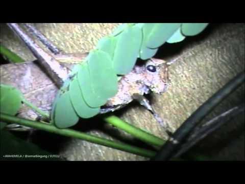 Walang Kerik ( Belalang Kecek ) Bersuara Nyaring