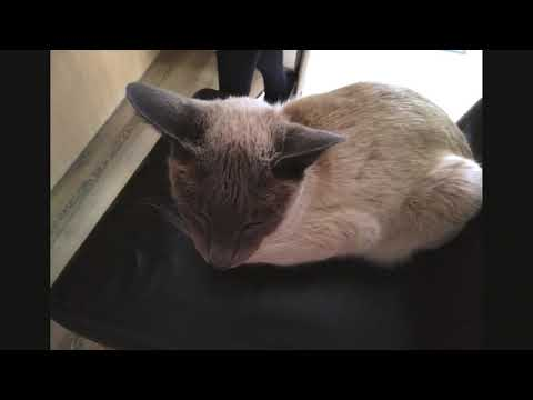 The blue point siamese cat