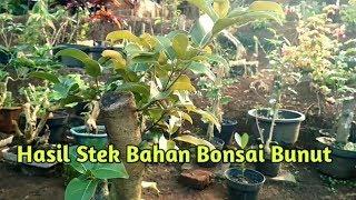 Hasil stek bahan bonsai BUNUT