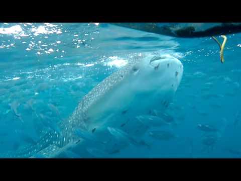 Whale Shark encounter in Oslob, Cebu   SJcam M20 raw unedited