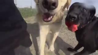 ゴールデンレトリバーのアオくんが小さく見える?超大型犬マスティフ80...