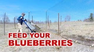 Blueberries : Fertilizing and Mulching Tips