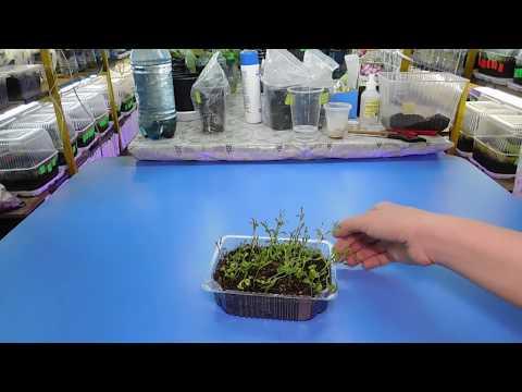 🌹🌹🌹Самый простой способ посеять Гвоздику на рассаду ! Выращивание из семян в домашних условиях