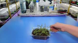 видео Как выращивать гвоздики