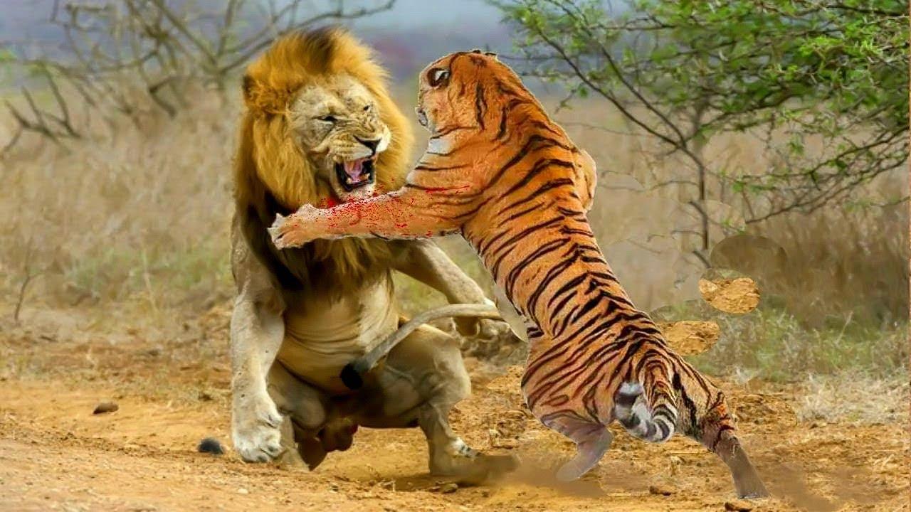 Кто крупней лев или тигр