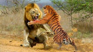 VERSUS. Лев против Тигра, кто сильнее?(Привет, вы смотрите Versus новую программу на канале с миру по факту. В ней мы будем сталкивать различных живот..., 2016-02-07T08:48:45.000Z)