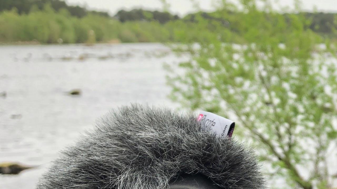 Black Headed Gulls Stereo Audio Recording 96kHz/24-bit