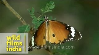 Common Tiger butterfly at Panna National Park