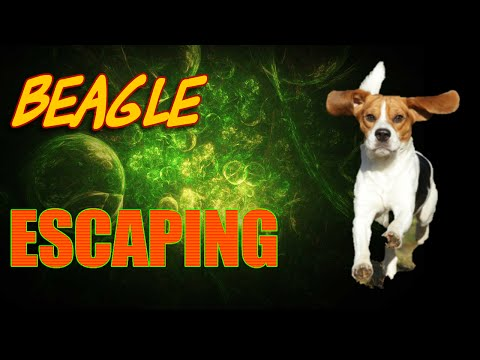 Beagle Escape | 0123amyrose