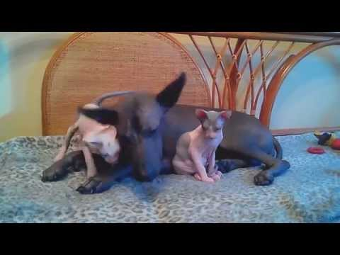 Котята донского сфинкса и мексиканская голая собака