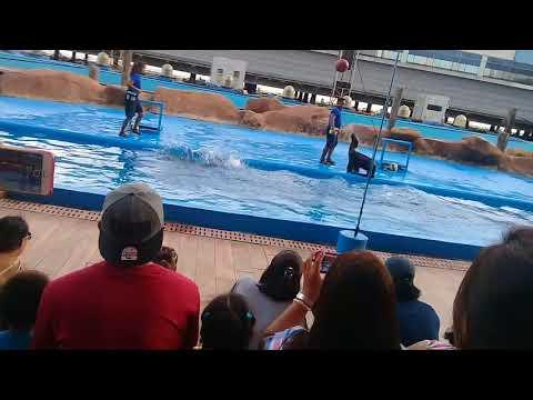 Sea lions are dancing at manila ocean park