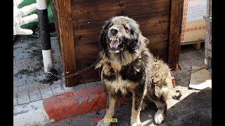 نواجه-مشاكل-في-علاج-كلب-القوقازي-هذا-مع-جمال-العمواسي