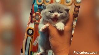 Funny Cats|CFA Cat Breeds, will roar, coquetry. Take a bite,smell milk|Top 100|#006