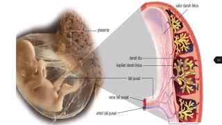 BIO T4 B15: 15.3 – perkembangan fetus, fungsi plasenta & tali pusat