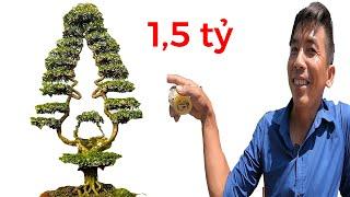Đang hô bán cây cảnh độc đáo VN,  giá 1,5 tỷ, giống cây thông noel II ĐỘC LẠ BÌNH DƯƠNG