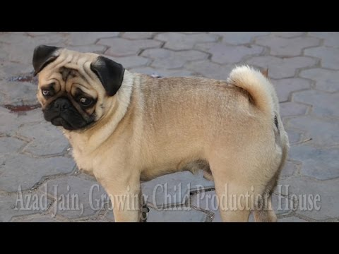 Cute Dog Pug licking trespassers foot. pug puppy, pug dog kutta. pug barking. vodafone pug