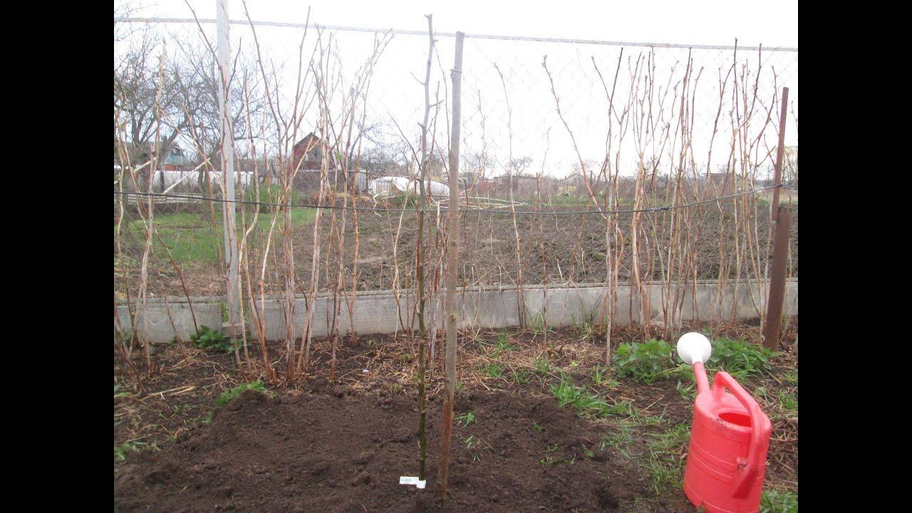 схема посадки грушевый сад