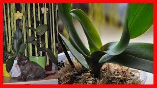Пересадка орхидеи из мха в кору ✿ результат пересадки ✿ кучерявые листья у орхидеи(Подписаться на новые видео https://www.youtube.com/user/BAGIRA7722/featured Орхидея душистая лимонка в посылке ☆ I love orchids https://you..., 2016-09-18T20:54:44.000Z)