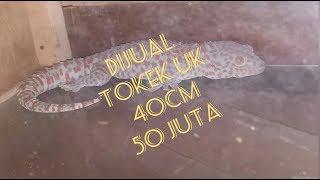 Download Video TOKEK RUMAH UK 40 CM - dijual 50jutaan #tokekbesar MP3 3GP MP4