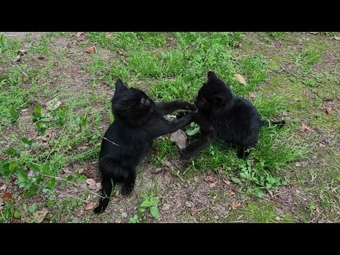 Cute black kittens playing after eating food