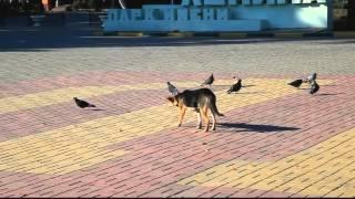Dog hunting for pigeons   Собака охотится на голубей
