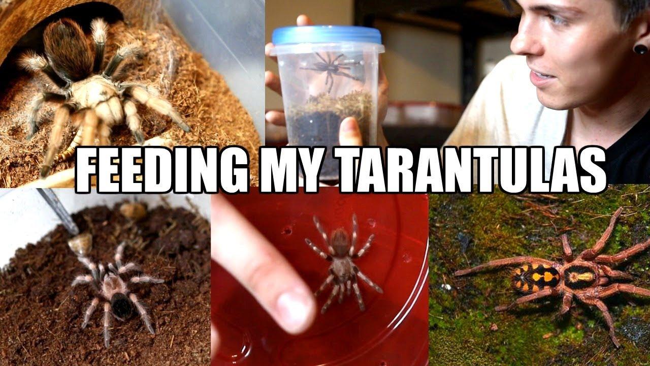 feeding-all-of-my-tarantulas-adults-slings