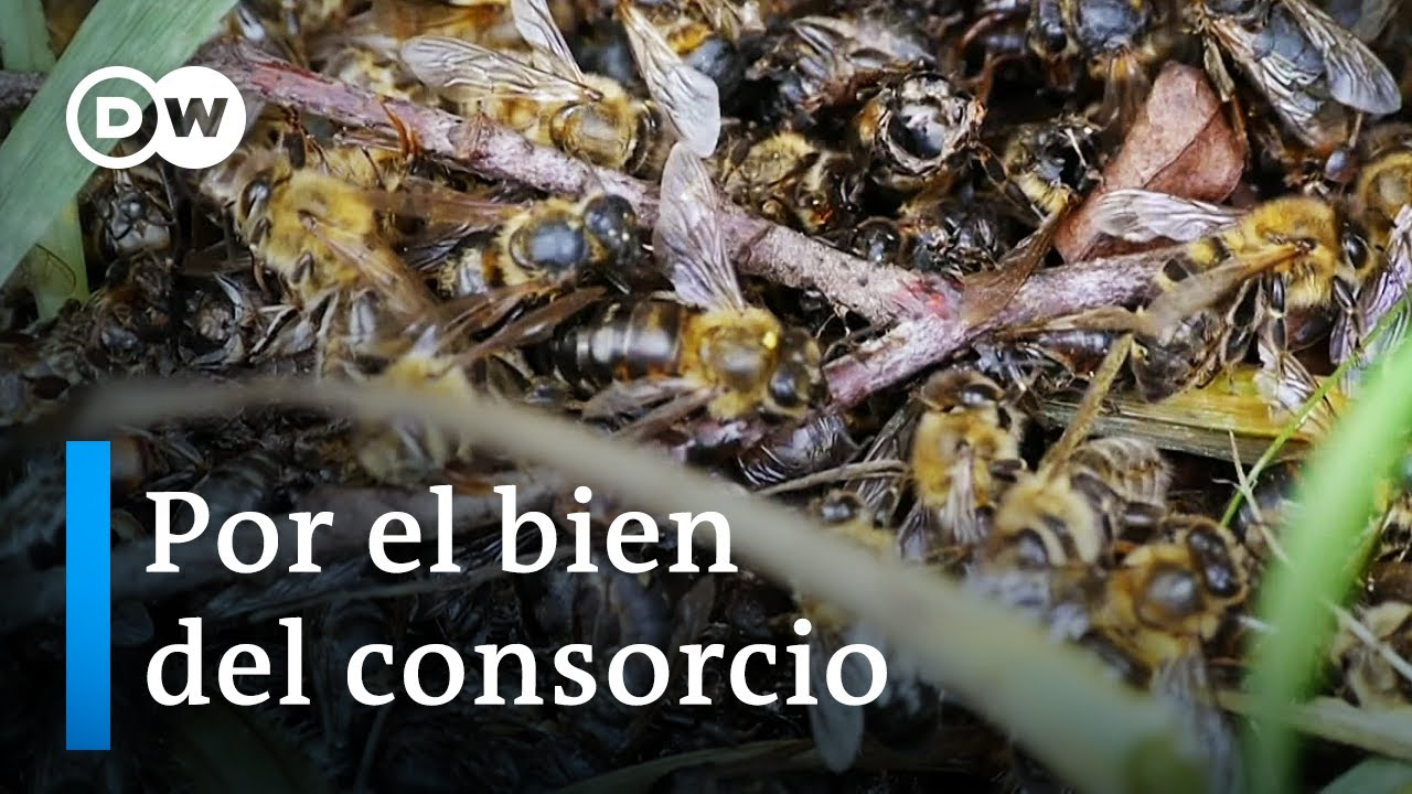 Bayer y las abejas | DW Documental