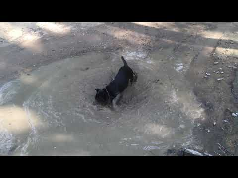 Astra enjoying a mud puddle! A rescued dog available for adoption