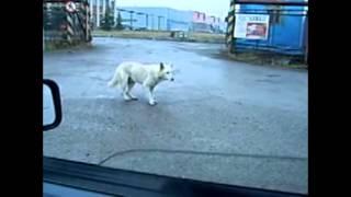 Собака танцует))угар))