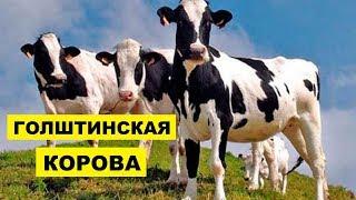 Разведение Голштинской породы коров как бизнес идея   Голштинская корова