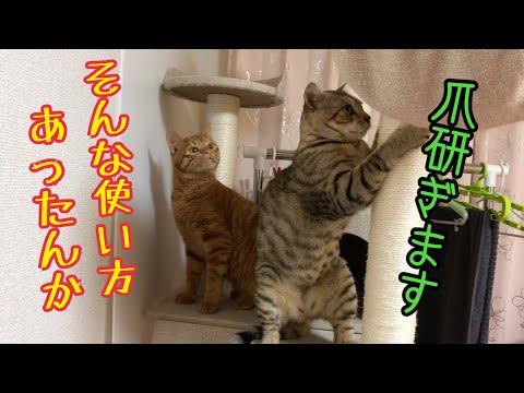 2匹の猫がキャットタワーでわちゃわちゃする姿がかわいい!