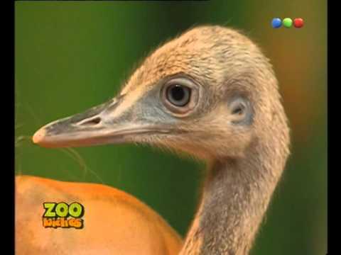 Conociendo Al ñandú Zoo Bichos