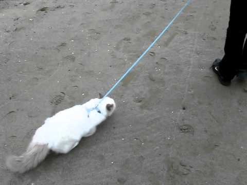 My Birman cat on a leash