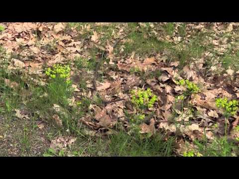 Euphorbia cyparissias - Zypressen-Wolfsmilch, Cypress Spurge