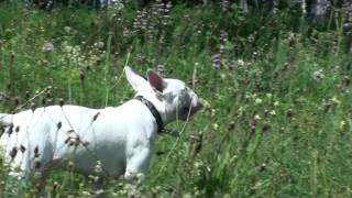 Bull Terrier Play On Nature