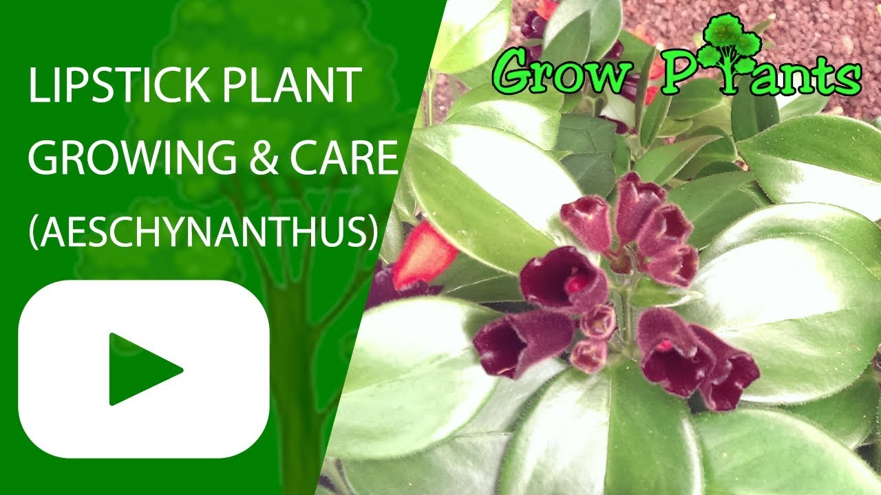 Lipstick Plant Growing And Care Youtube