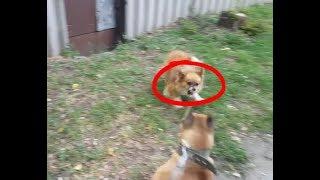 На Амстаффа напала стая собак,собачий бой, зачем нам нужны собаки???