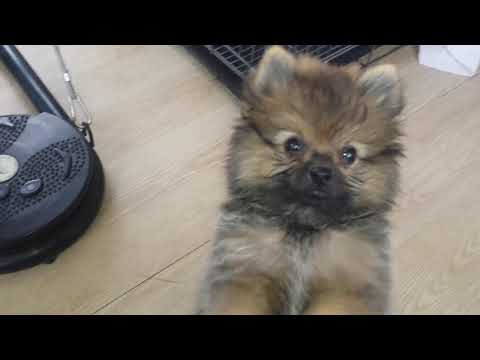 Pomeranian puppies not eating food