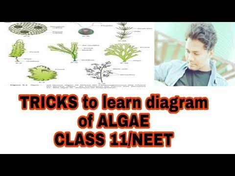 Tricks To Learn Diagram Of Green Algaered Algaebrown Algae Ncert